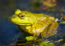 North America, USA, New Jersey, Far Hills, Leonard J. Buck Garden.  Bullfrog by Danita Delimont