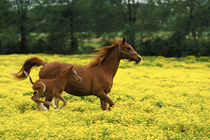 Arabian foal and mare runnning through buttercup flowers, Louisville, Kentucky by Danita Delimont