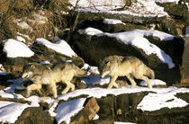 North America, Wolf (Canis lupus) von Danita Delimont