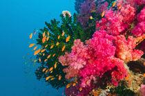 South Pacific, Fiji, Viti Levu von Danita Delimont