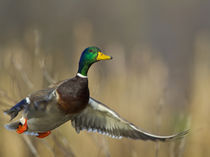 USA, Seattle, Washington. Male Mallard blasts off Lake Washington on Union Bay. by Danita Delimont