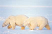 polar bears, Ursus maritimus, walking on the frozen Arctic ocean von Danita Delimont