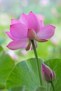 Franklin NC, Perry's Water Garden, Lotus blossom with leaves von Danita Delimont