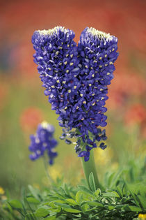 NA, USA, Texas Hill Country. Double flowered Texas Bluebonnet by Danita Delimont