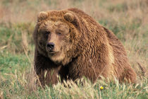 North America, USA, Alaska, Kodiak Island Grizzly or Brown bear by Danita Delimont
