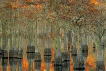 N.A., USA, Georgia, George Smith State Park. Cypress trees, fall reflections von Danita Delimont