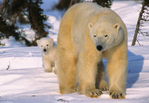 Female Polar Bear Standing with one cub or coy behind, Canada, Manitoba by Danita Delimont