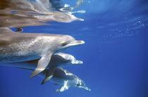 Atlantic spotted dolphins.  Bimini, Bahamas. von Danita Delimont