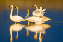 Trumpeter swan family in last light at pond at the Ninepipe NWR in Montana by Danita Delimont