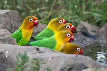 Africa, Tanzania, Fischer's Lovebirds drinking at Ndutu by Danita Delimont