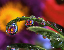 USA, Oregon, Close-up abstract of purple chrysanthemum reflecting in dew drops von Danita Delimont