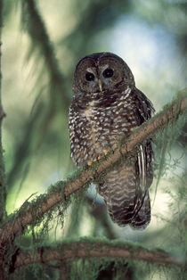 Oregon Coastal Range. a Northern Spotted Owl (Strix occidentalis) by Danita Delimont