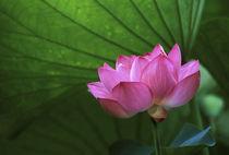 Ohga Lotus, Sankei-en Garden, Yokohama, Japan von Danita Delimont