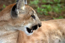 USA, Florida, panther, (Felis concolor), puma, cougar, endangered, cat, captive von Danita Delimont
