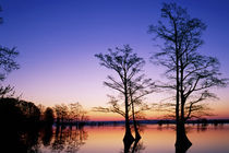 'Baldcypress trees silhouetted at sunset Taxodium distichum Reelfoot' by Danita Delimont