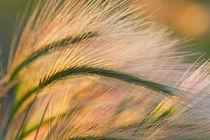 Foxtail barley backilt near East Glacier Montana von Danita Delimont