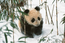 Panda cub on snow, Wolong, Sichuan, China by Danita Delimont