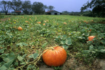 A pumpkin patch in Georgia. von Danita Delimont