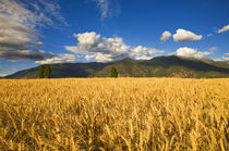 Mature stand of wheat sits below the Swan Mountain Range in the Flathead Valley von Danita Delimont