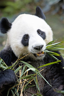 Panda eating bamboo shoots at a Panda reserve Unesco World Heritage site by Danita Delimont