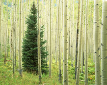 USA, Colorado, White River National Forest, Silver FIr in Aspen Grove by Danita Delimont
