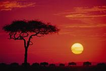 AFRICA, Kenya, Masai Mara Wildebeest Migration von Danita Delimont