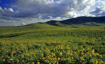 Wildflowers with Bisin grazing at the National Bison Range in Montana by Danita Delimont