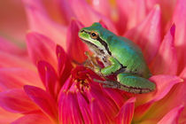 Pacific tree frog on flowers in our garden, Sammamish Washington by Danita Delimont