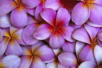 N.A., USA, Maui, Hawaii. Pink Plumeria blossoms. by Danita Delimont