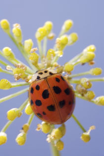 USA, California, San Diego, Close-up of a lady beetle on a flower. Credit as von Danita Delimont