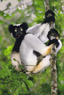 Indri climbing tree, Indri indri, Andasibe, Madagascar von Danita Delimont