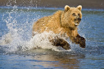 A brown bear chases a salmon at Silver Salmon Creek, Lake Clark NP, Alaska. by Danita Delimont