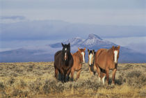 DFH-52   Four horses near Cody, Wyoming, Heart Mountain in distance.  Original by Danita Delimont