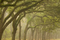 USA; Georgia; Savannah; An oak lined drive in the fog. by Danita Delimont