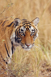 Royal Bengal Tiger watching from the grassland, Ranthambhor National Park, India by Danita Delimont