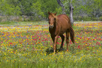 Quarter Horse in field of wildflowers near Cuero Texas springtime. von Danita Delimont