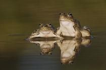 Rio Grande Leopard Frog, Rana berlandieri von Danita Delimont