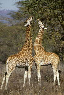 Reticulated giraffes foraging from acacia, Kenya von Danita Delimont