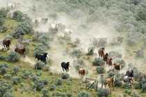 USA, Washington, Malaga, Running horses form vee shape during roundup by Danita Delimont