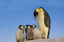 Emperor penguin with chicks, Aptenodytes forsteri, Antarctica by Danita Delimont