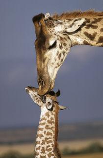 Africa, Kenya, Masai Mara. Giraffes (Giraffe camelopadalis) by Danita Delimont