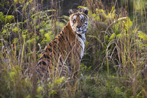 Bengal tigress in tall grass, trying to hunt, dry season, April by Danita Delimont