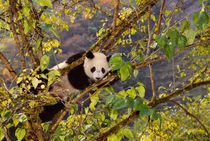 Panda on tree with autumn foliage, Wolong, Sichuan, China by Danita Delimont