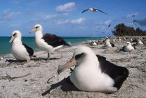 Laysan albatrosses on beach, Phoebastria immutabilis, Hawaiian Leeward Islands von Danita Delimont