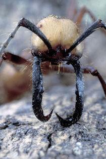 CA, Panama, Barro Colorado Island army ant soldier portrait (Eciton buchelli) by Danita Delimont