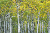 Autumn aspens in McClure pass in Colorado. by Danita Delimont