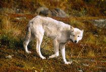 USA, Alaska, Denali NP, Grey Wolf (Canis lupus) by Danita Delimont