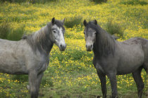 In Western Ireland, two horses with long flowing manes von Danita Delimont