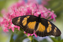 Sammamish, Washington Tropical Butterfly Photograph of African Species by Danita Delimont