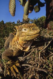 Land iguana, Conolophus subcristatus, Galapagos Islands von Danita Delimont